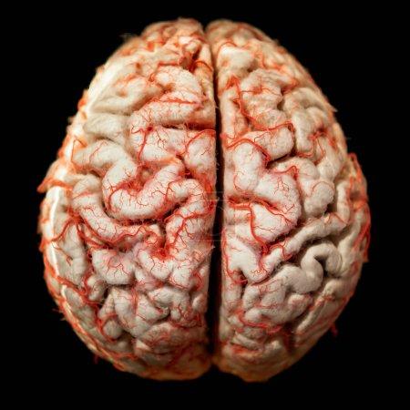 Photo pour Cerveau humain closeup anotomy - image libre de droit