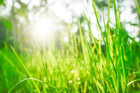 Photo pour Herbe verte et soleil brillant, beau fond de nature - image libre de droit