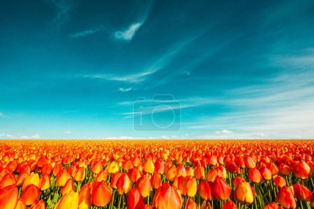 Photo for Colorful field of tulips, Netherlands - Royalty Free Image