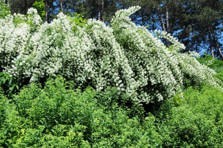 Trees and big green shrubs with white blossom in spring forest