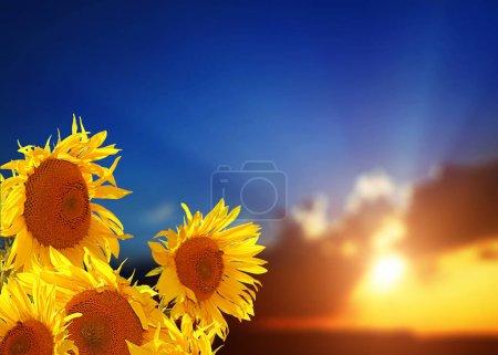 Foto de Yellow sunflowers with green field and sky background - Imagen libre de derechos