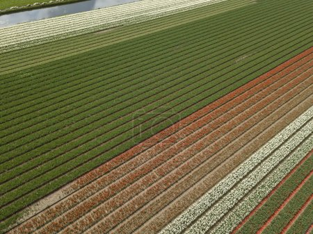 Photo for Beautiful aerial drone landscape shot of cultivated farm fields in Netherlands taken with flying camera from above in spring day.Northern Holland rural farms with organic food crops - Royalty Free Image