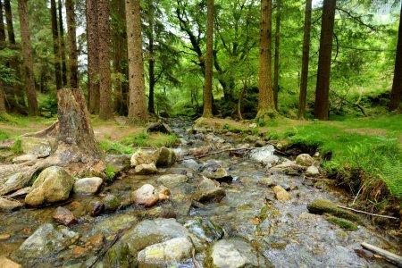 narrow stream flowing between old pine trees, County Wicklow, Ireland