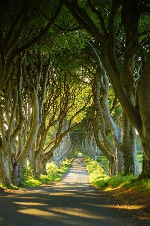 Photo pour The Dark Hedges, une avenue de hêtres le long de Bregagh Road dans le comté d'Antrim. Tunnel d'arbre atmosphérique a été utilisé comme lieu de tournage dans les séries télévisées populaires. Attractions touristiques en Irlande du Nord . - image libre de droit