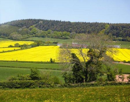 Photo pour La vue du champ de colza en fleurs dans la campagne du Devon. Angleterre . - image libre de droit