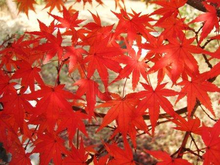 Photo pour Feuilles rouges d'érable en automne. Fond naturel du feuillage de la saison automnale - image libre de droit
