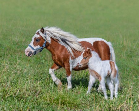 American Miniature Horse. Skewbald mare and foal in summer meadow.