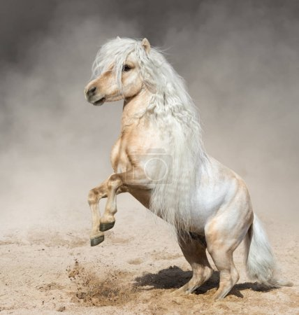 Palomino American Miniature Horse with long mane rearing in paddock in dust.