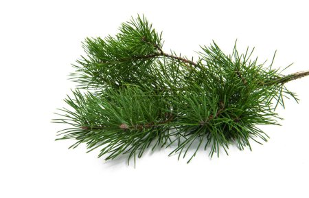 Photo for Pine branch isolated on white background - Royalty Free Image