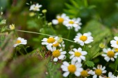 Wild chamomile on a meadow. close up