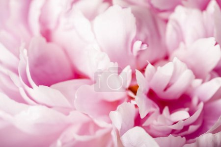 Tender pink peony flower on blurred background
