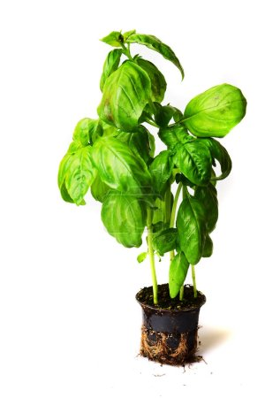 Photo for Basil plant in pot isolated on white background - Royalty Free Image