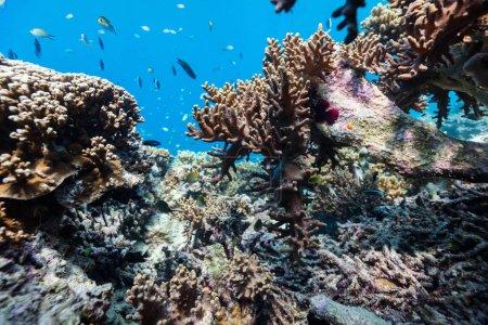 Photo pour Beau récif corallien coloré et poissons tropicaux sous-marins aux Maldives - image libre de droit