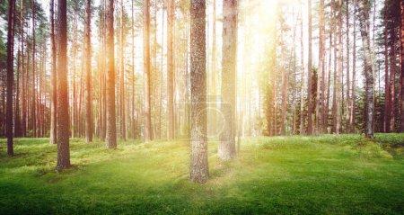 Photo pour Forêt nature lumière du soleil. Matin d'été paysage clair - image libre de droit