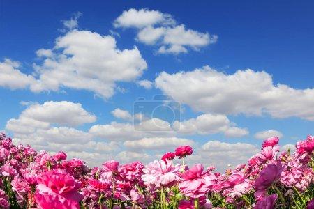 Adorable buttercups de jardin rose - ranunculus fleurissent sur un champ de ferme. Journée nuageuse et venteuse en mai. Cumulus nuages volent dans le ciel bleu. Concept de tourisme écologique