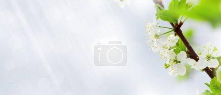 Photo pour Pommier fleuri printemps arbre en face du ciel bleu ensoleillé - image libre de droit