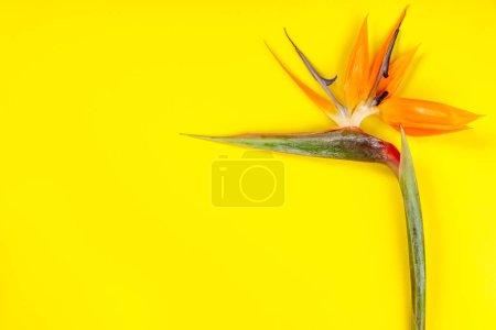 Photo pour Oiseau de paradis fleur Strelitzia reginae sur fond jaune, pose plate - image libre de droit