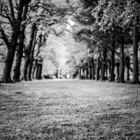 Long green park alley. Black-white photo.
