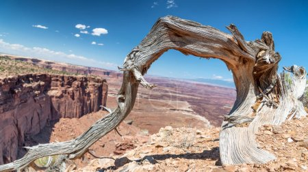 Bare tree trunk with Dead Horse Point State Park aerial view, Utah.