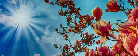 Photo pour Magnolia arbre fleurir avec ciel coloré sur le fond . - image libre de droit