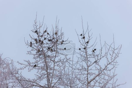 Flock of snowbirds on tree branches in winter...