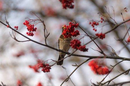 Fieldfare eat rowan berries on a tree in autumn...