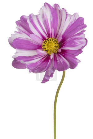 Photo for Studio Shot of Magenta Colored Cosmos Flower Isolated on White Background. Large Depth of Field (DOF). Macro. Close-up. - Royalty Free Image