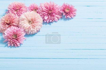 Photo pour Chrysanthèmes roses sur fond de bois bleu - image libre de droit