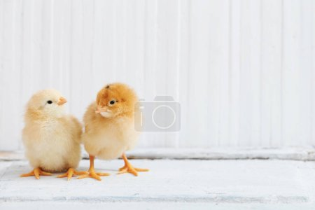 little chicken on white wooden background