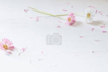 Photo pour Marguerite rose sur fond blanc en bois - image libre de droit