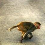 Rhesus monkeys in town. India...