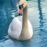 Mute Swan said most beautiful Regal bird because i...