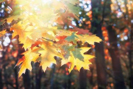 Photo pour Branche de chêne jaune laisse en forêt d'automne à jour ensoleillé. - image libre de droit
