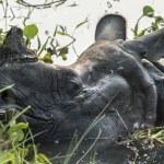 Indian rhinoceros Rhinoceros unicornis or one-horn...