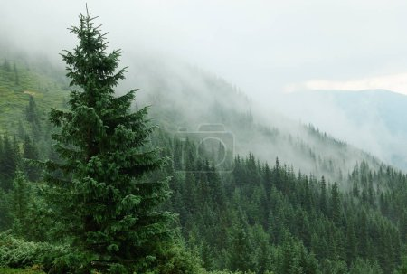 Photo for Mountains with forests. Carpathian Mountains, Ukraine, Europe - Royalty Free Image
