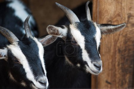 Funny black and white goats on the farm