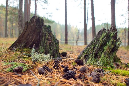 Two small old stumps covered with moss. cones, autumn forest