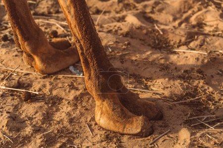 Photo pour Chameaux sauvages dans le désert d'Al Khatim à Abu Dhabi, Emirates - image libre de droit