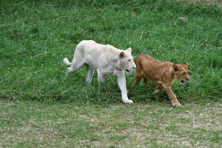 Two young lions cub white and brawn colors on the grass. Casela park, Mauritius