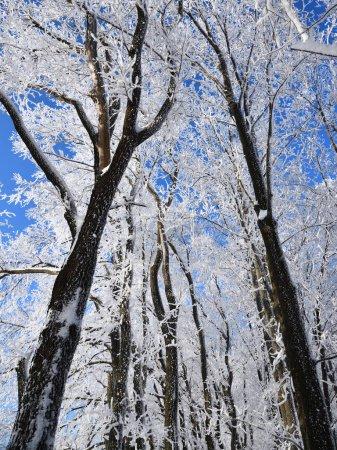 Foto de Bosque de invierno con la nieve caída, congelado cubierto de árboles con la helada contra el cielo azul en día soleado, Rusia - Imagen libre de derechos