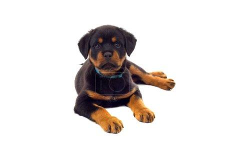 Photo pour Petit chien chiot Rottweiler, isolé sur fond blanc - image libre de droit