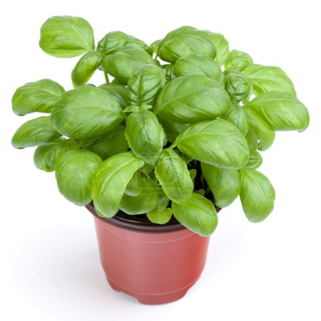 Photo for Fresh sweet Genovese basil herbs growing in pot isolated on white background cutout. - Royalty Free Image