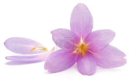 Photo pour Fleurs de crocus lilas isolées sur fond blanc - image libre de droit