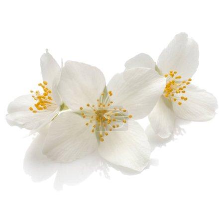 Photo pour Jasmin fleurs isolées sur fond blanc découpe - image libre de droit