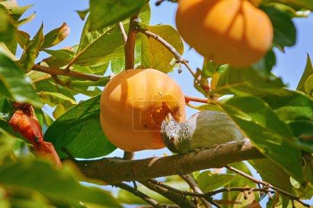 Photo pour Bruant mange des fruits kaki assis sur la branche - image libre de droit