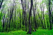 Big Green spring forest