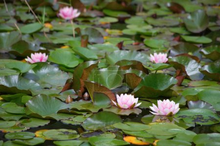 Natural swamp with water lillies