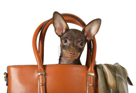 Four month old toy Terrier puppy sitting in a women's handbag isolated on a white backgroun