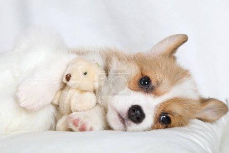 Photo pour Purered Welsh Corgi Pembroke chiot couché dans un lit dans une étreinte avec son jouet préféré bea Teddy - image libre de droit