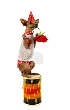 Xoloitzcuintli perro sentado en el tambor y sostiene una flor en su
